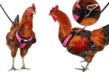 Guinzaglio per galline