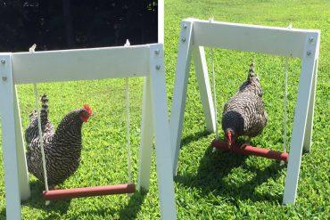 Altalena per galline