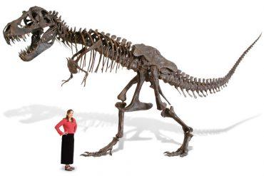Scheletro di T-Rex in scala 1:1
